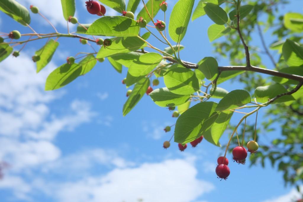 ジュンベリー果実と青空